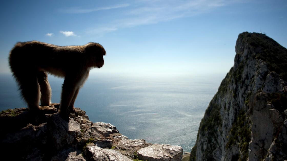 A Gibraltar, il sera interdit de toucher les macaques