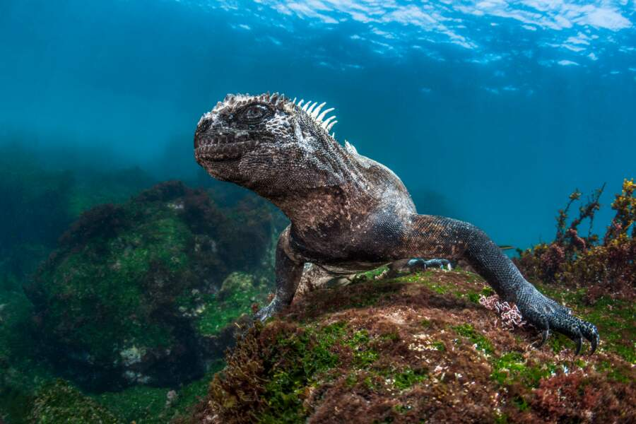 Une créature fascinante des Galápagos