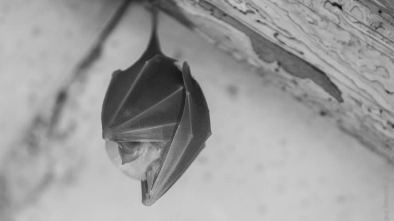 Une fascinante plongée dans l'intimité des chauves-souris pour réhabiliter ces mammifères décriés