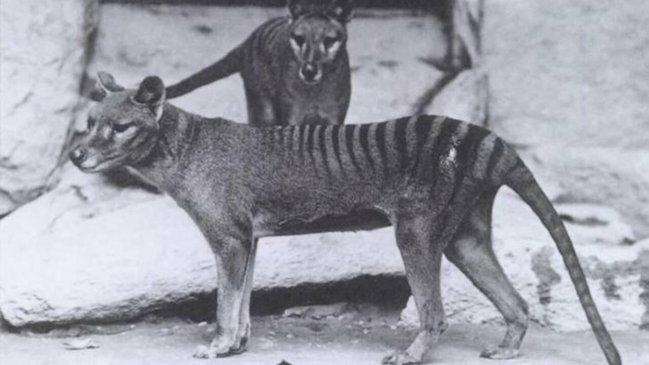 Des images du dernier tigre de Tasmanie redécouvertes 85 ans après