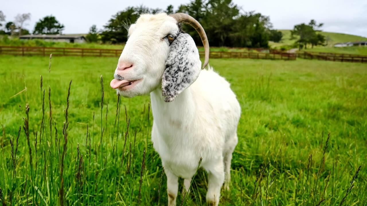 """Invitez une chèvre ou un lama à votre prochaine """"visio"""" en soutien à des refuges animaliers"""