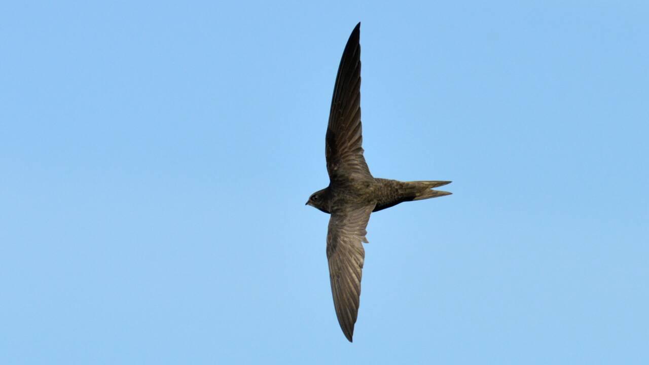 Le martinet noir, un oiseau fascinant mais en déclin mis à l'honneur par un concours photo