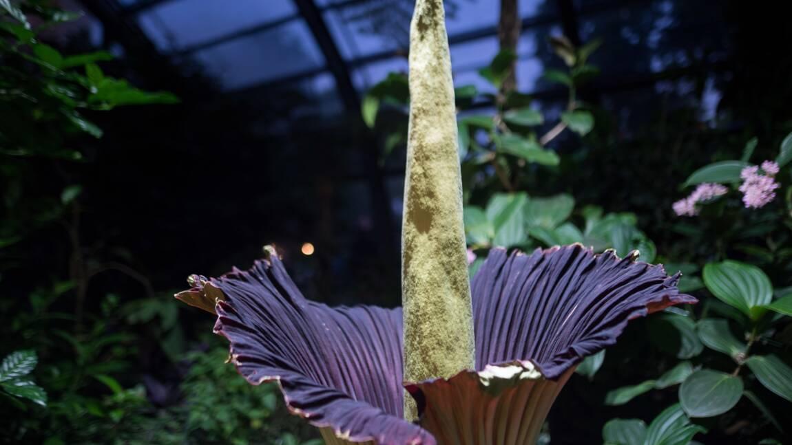Un Arum titan, plante géante à l'odeur nauséabonde, est en pleine floraison à New York