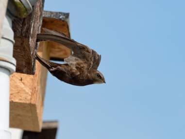 Un concours photo met à l'honneur le martinet noir, un oiseau fascinant mais en déclin