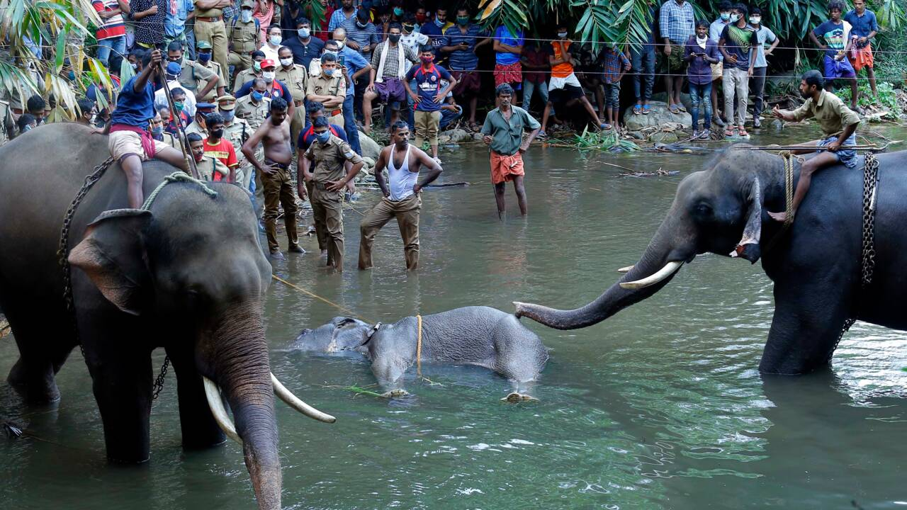 Mort d'une éléphante en Inde à cause d'une noix de coco piégée: un suspect arrêté