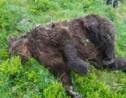Qui a tué l'ours? L'enquête se heurte à l'omerta en Ariège
