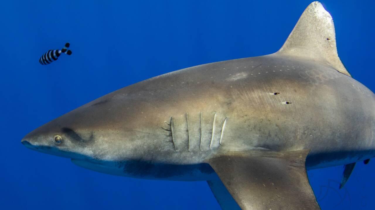 Un photographe immortalise un requin qui se serait battu avec un calmar géant