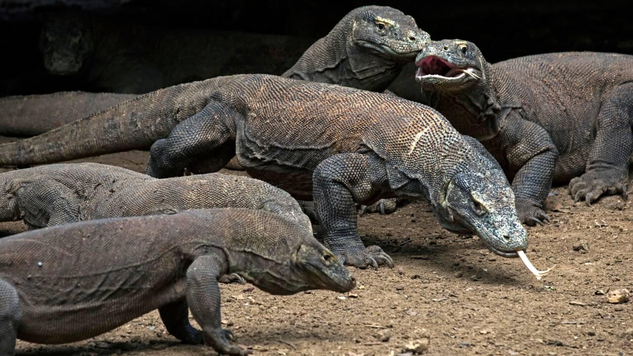 Varans de Komodo, des victimes collatérales du coronavirus
