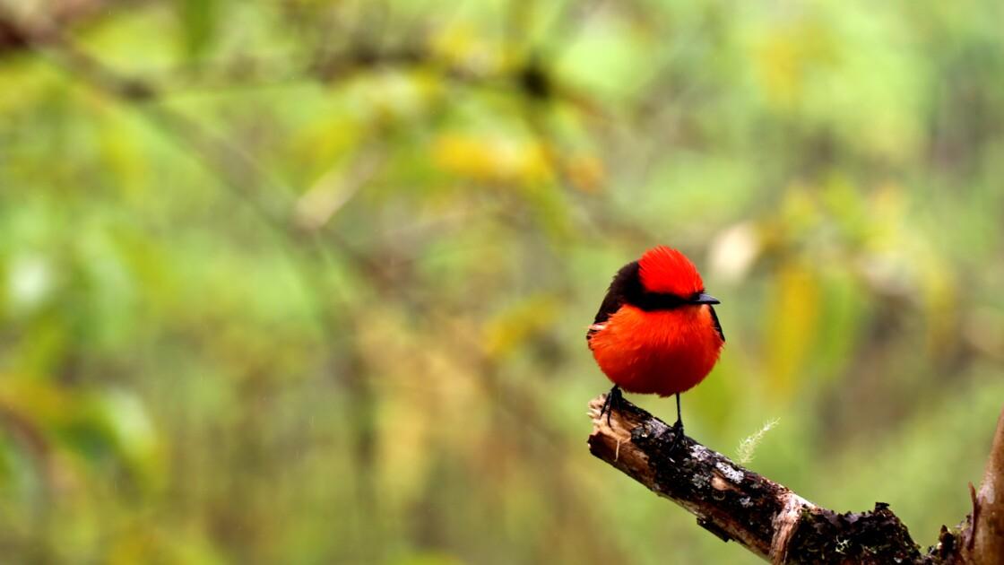 Naissance aux Galápagos de six oiseaux d'une espèce menacée