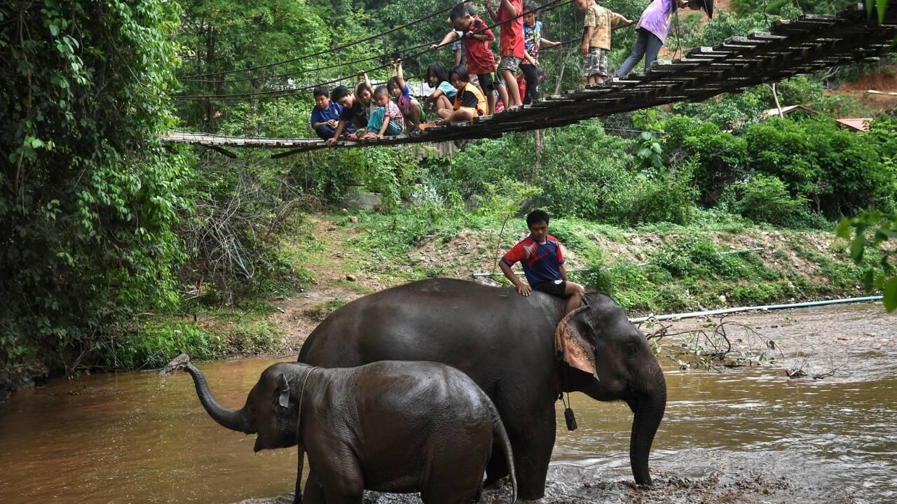"""En Thaïlande, de rares images du cruel dressage des """"éléphants à touristes"""""""