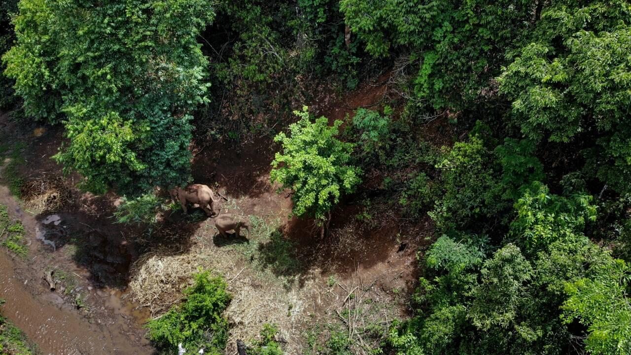 Pandémie: la grande migration des éléphants de Thaïlande
