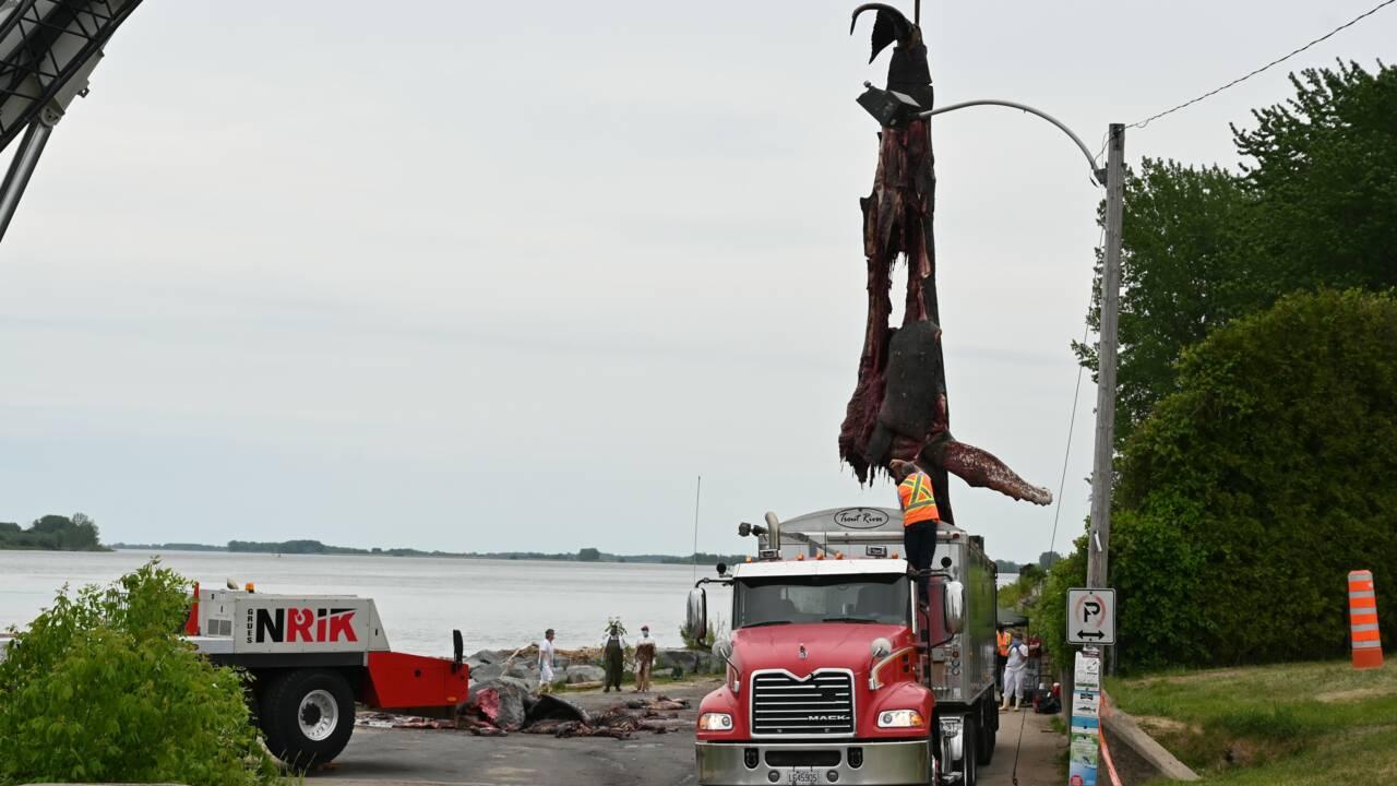 La baleine morte près de Montréal probablement heurtée par un bateau