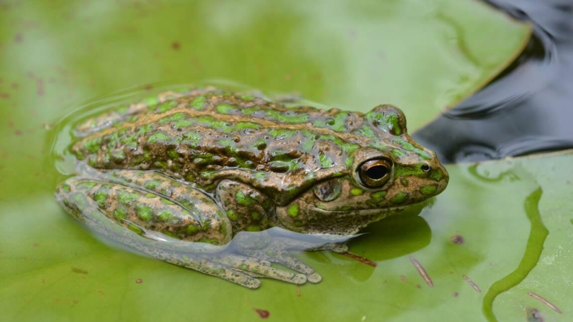 Cette grenouille vorace pourrait dévaster la biodiversité du sud de l'Australie