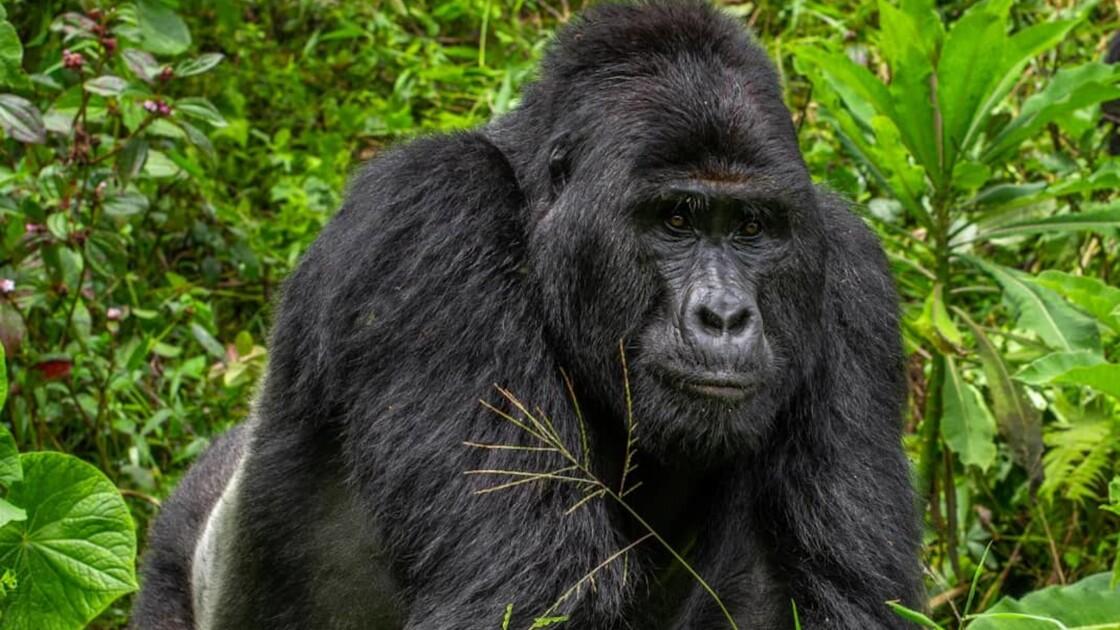 Rafiki, un célèbre gorille des montagnes tué par des braconniers en Ouganda