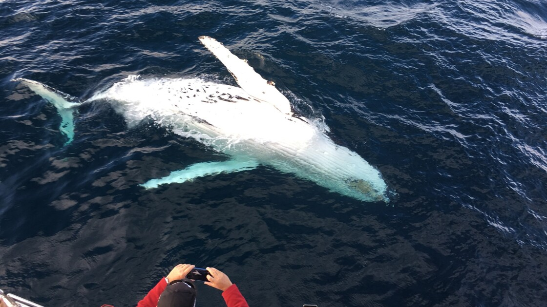 Une rarissime baleine blanche aperçue au large des côtes de la Nouvelle-Galles du Sud