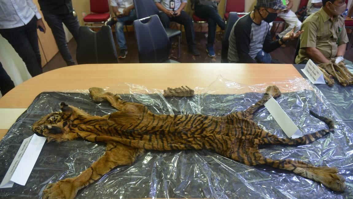 Indonésie: quatre arrestations pour braconnage de tigre de Sumatra