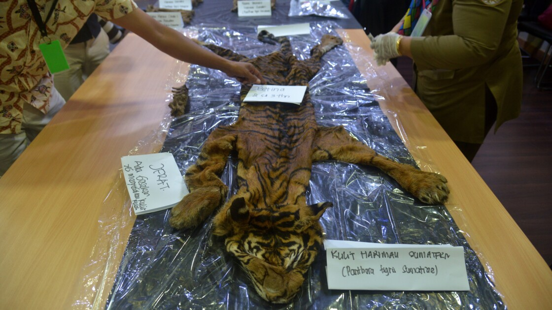 Indonésie: un tigre de Sumatra découvert empoisonné