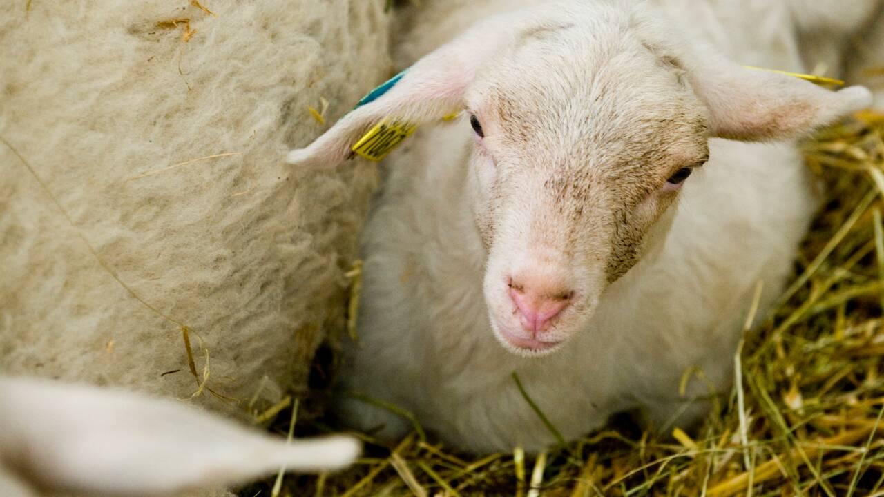 Elevage bovin: mea culpa de Greenpeace qui dénonce l'élevage industriel breton