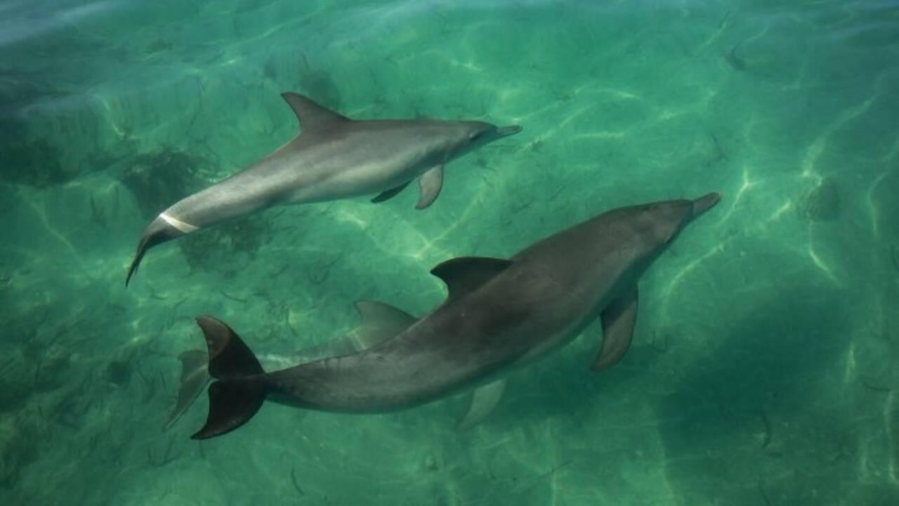 En Australie, des dauphins apprennent à leurs congénères comment chasser avec des coquillages
