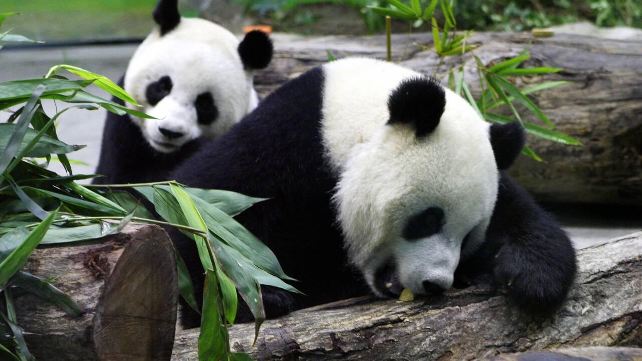 Taïwan : un panda géant donne naissance à un deuxième petit
