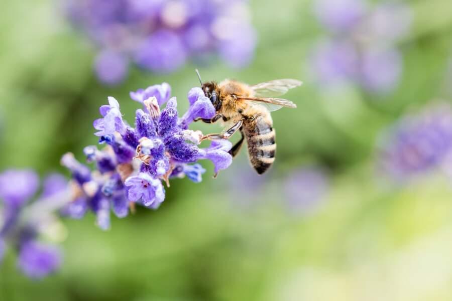 En Provence, la ruée vers la lavande de millions d'abeilles