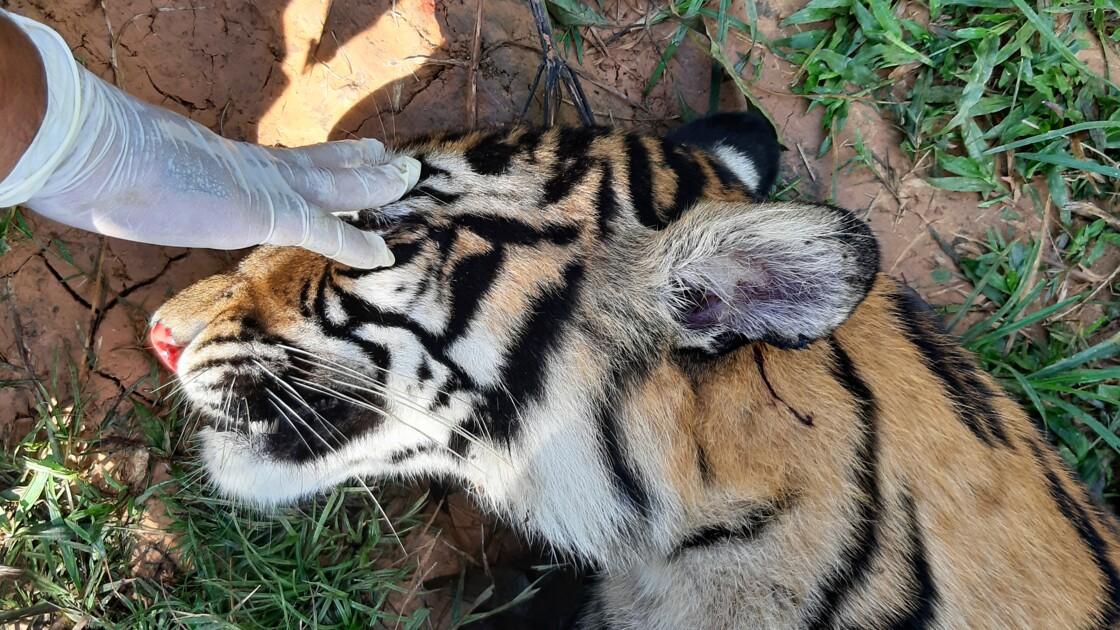Nouveau cas d'empoisonnement présumé de tigre de Sumatra en Indonésie