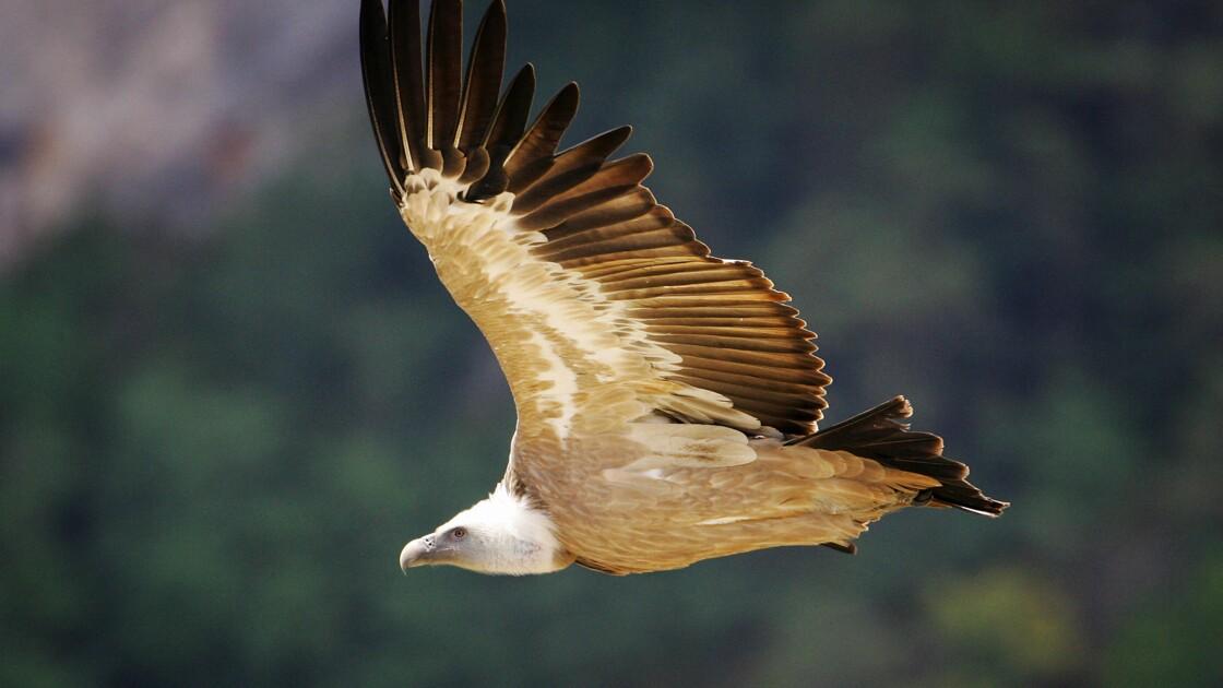 Des agriculteurs dénoncent l'attaque d'animaux vivants par des vautours