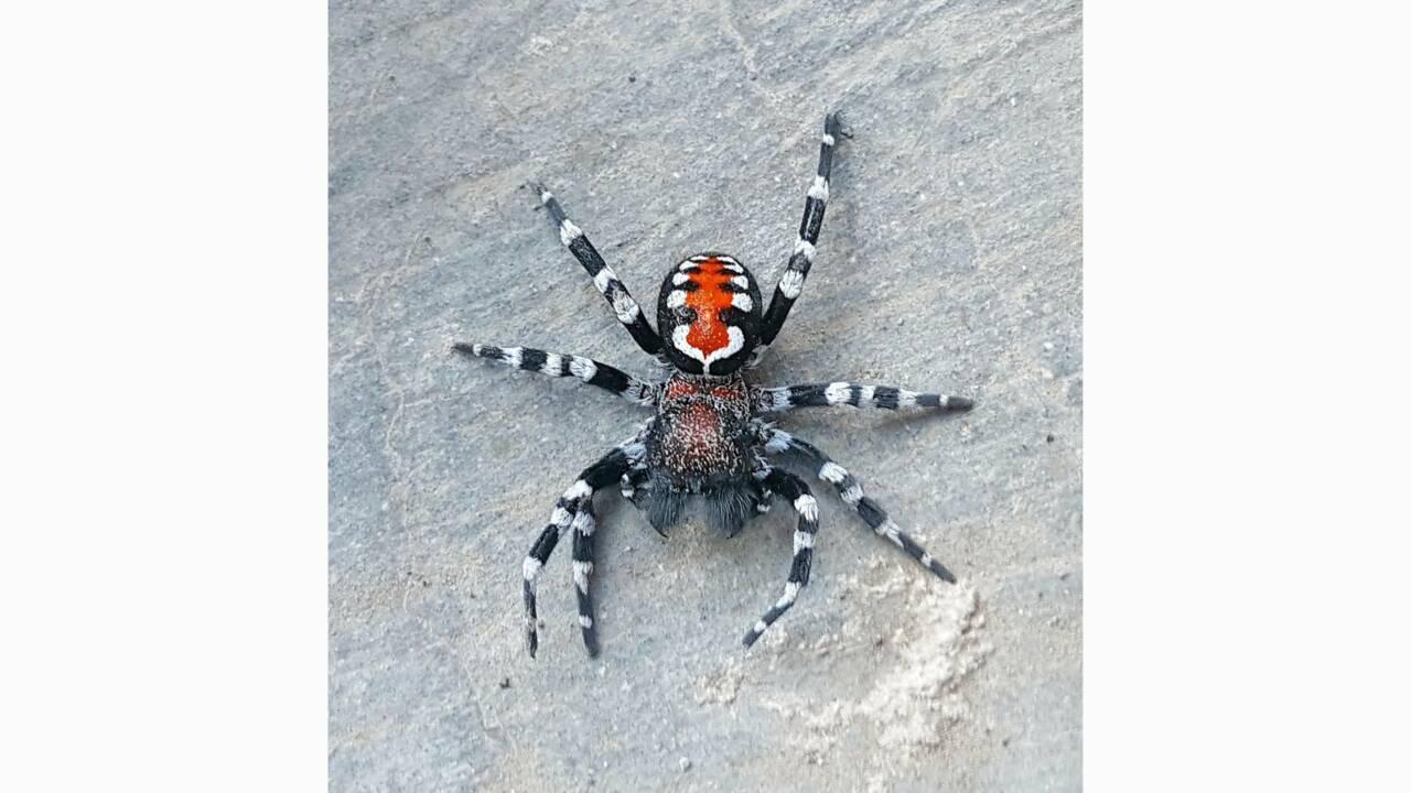 En Iran, une nouvelle espèce d'araignée nommée d'après le Joker de Joaquin Phoenix