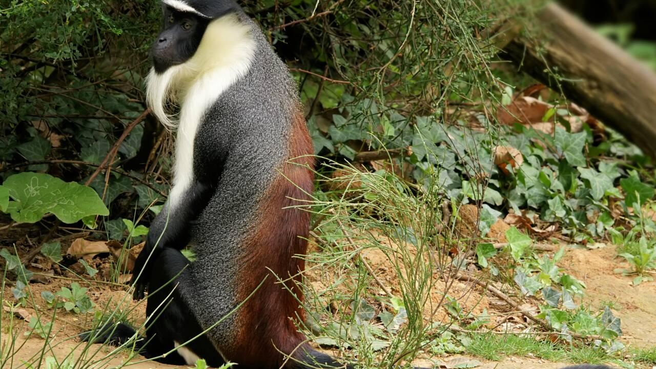 Un singe en danger critique d'extinction filmé pour la première fois en Côte d'Ivoire