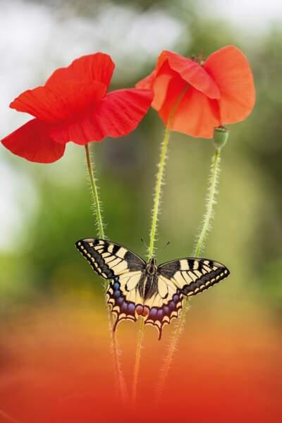 Les papillons - aussi - veulent des coquelicots
