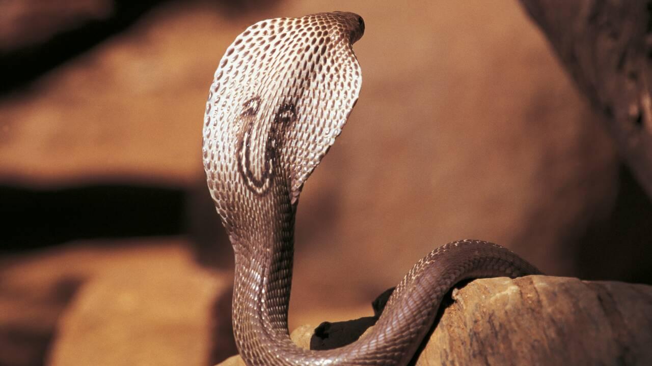 Serpents : l'espoir d'un antivenin efficace contre les morsures de cobras indiens