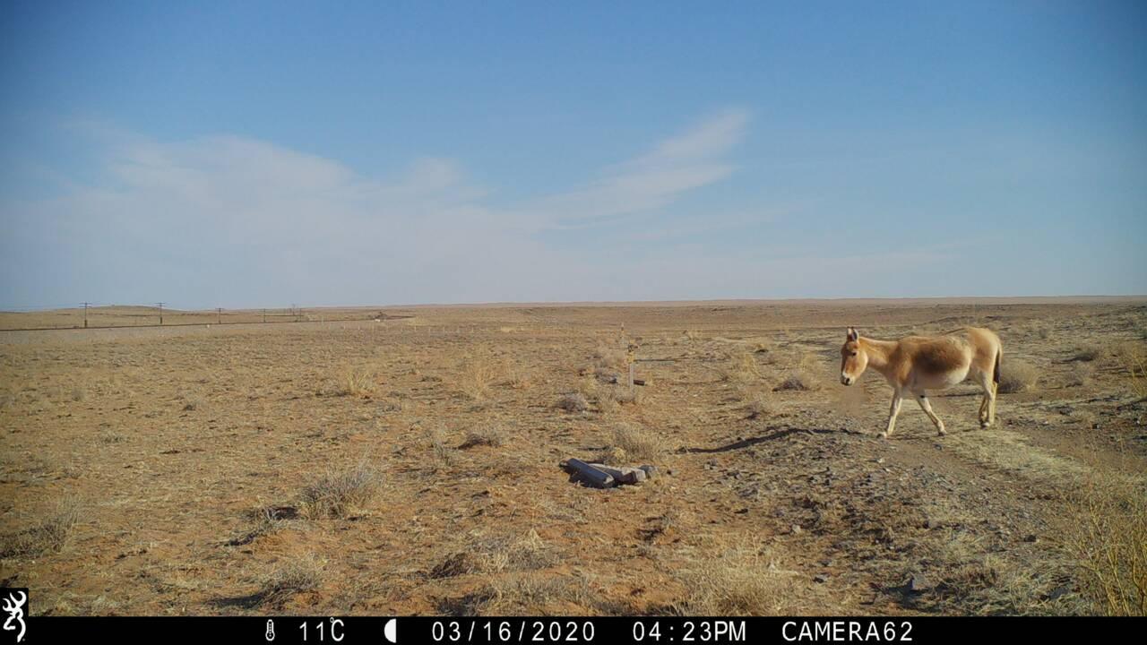 Pour la première fois depuis 65 ans, un âne sauvage asiatique aperçu dans les steppes orientales de Mongolie