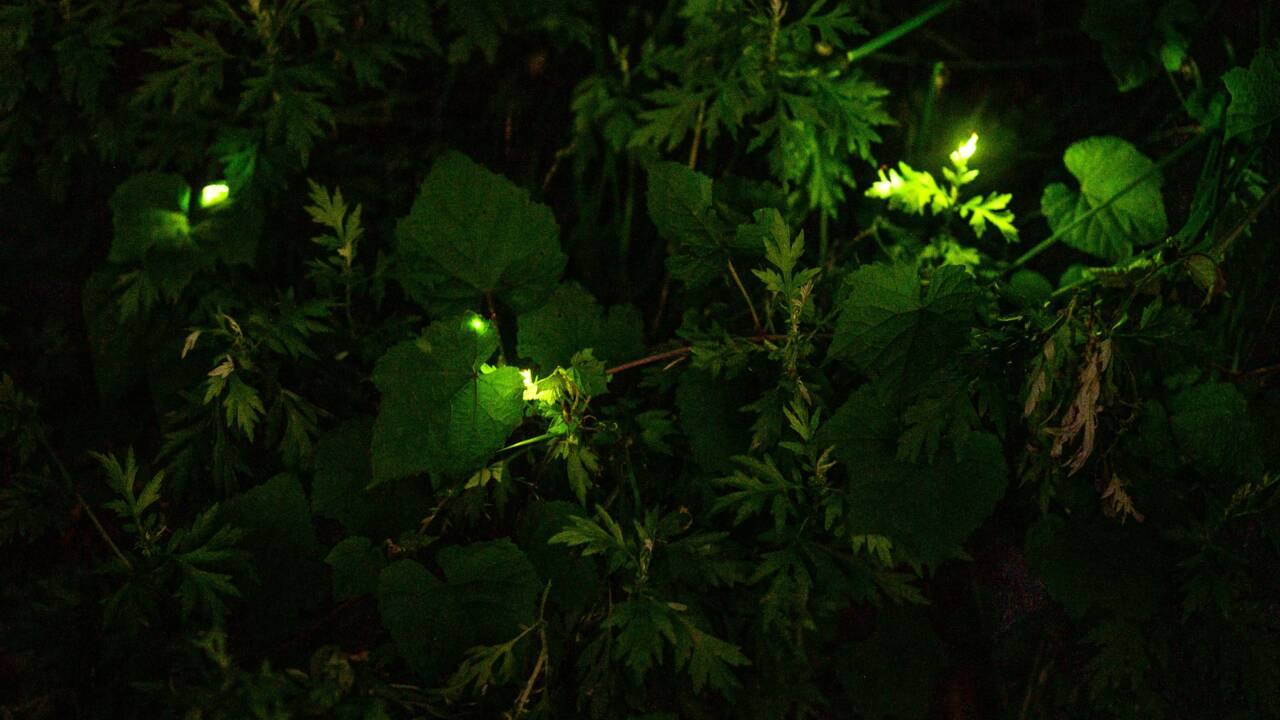 Japon: à l'heure du coronavirus, même les lucioles dansent à huis clos