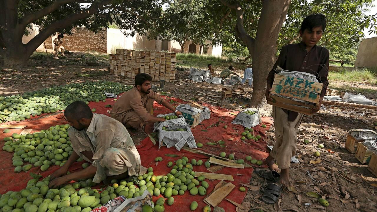 Mauvaises récoltes et coronavirus : au Pakistan, les producteurs de mangues virent à l'aigre