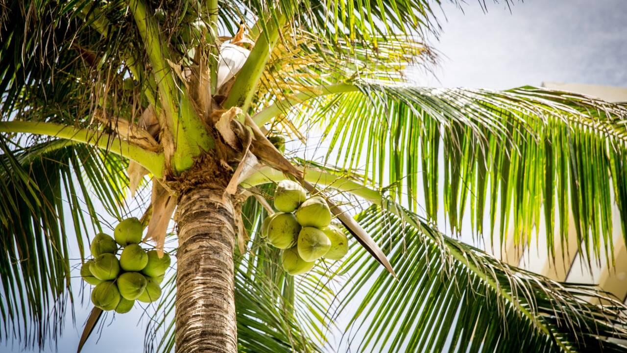 La culture de l'huile de coco serait plus néfaste qu'on ne pense pour la biodiversité