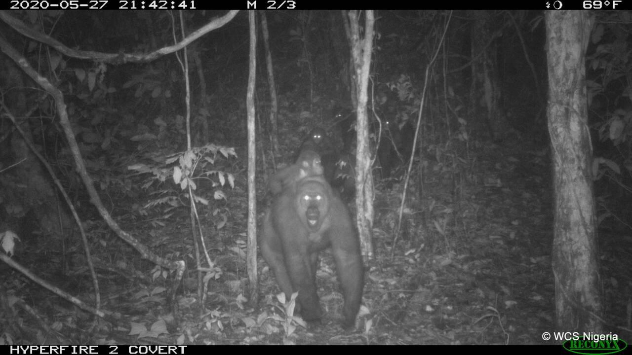 Le gorille le plus rare au monde photographié pour la première fois en groupe au Nigeria
