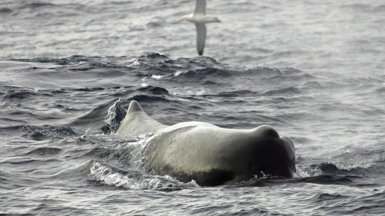 Pour chasser, les cachalots se relaient en groupe