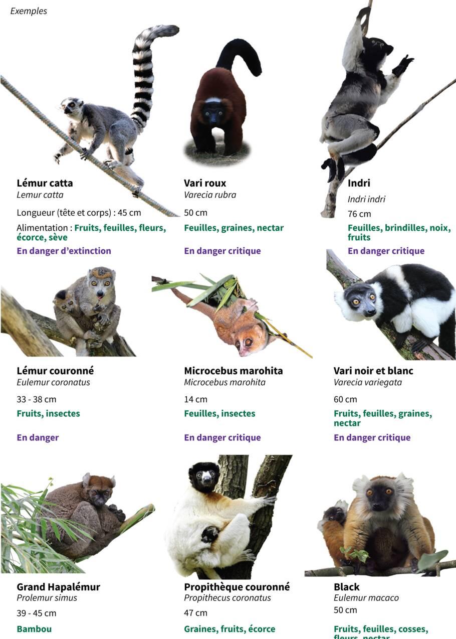 Les lémuriens, le grand hamster ou la baleine franche toujours plus proches de l'extinction