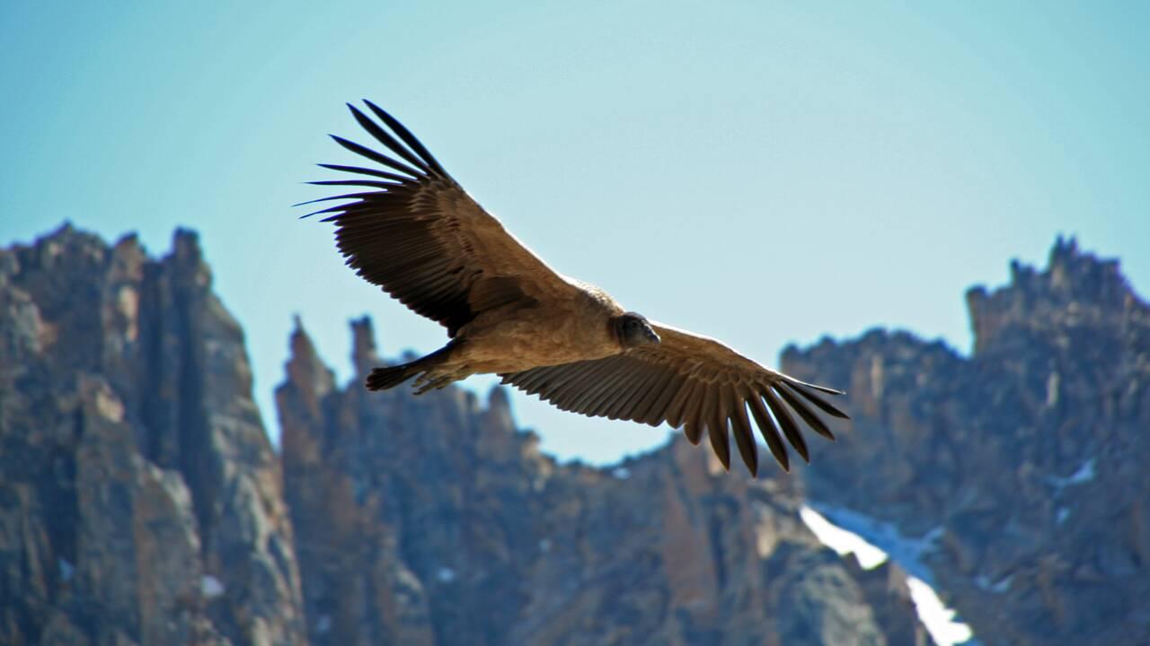 Le condor des Andes peut voler pendant des heures sans battre des ailes