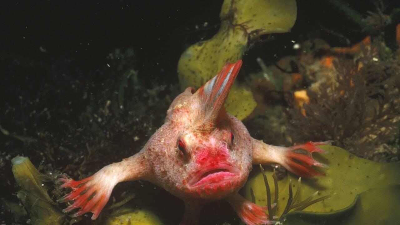 Une espèce de poisson australien officiellement déclarée éteinte après 200 ans de disparition