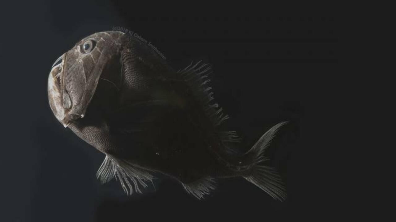 Des scientifiques percent le secret des poissons ultra-noirs des abysses