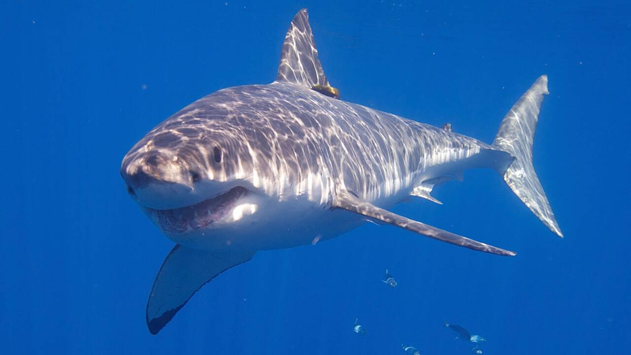 Taïwan veut interdire la pêche de trois espèces de requin au large de ses côtes
