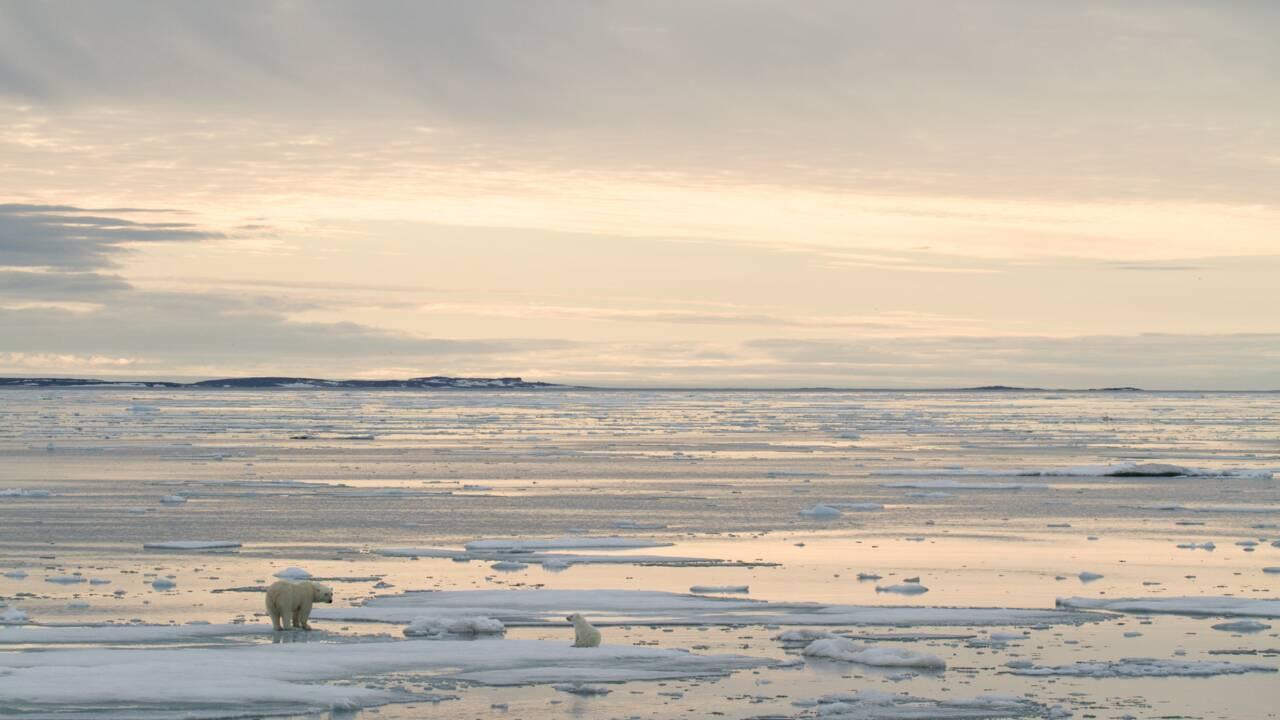 Réchauffement: vers l'extinction des ours polaires d'ici 2100, prévient une étude