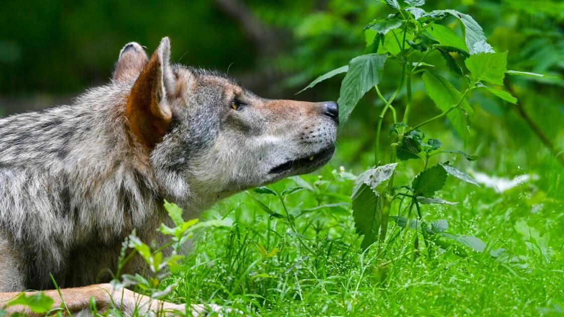La présence d'un loup confirmée en Seine-Maritime