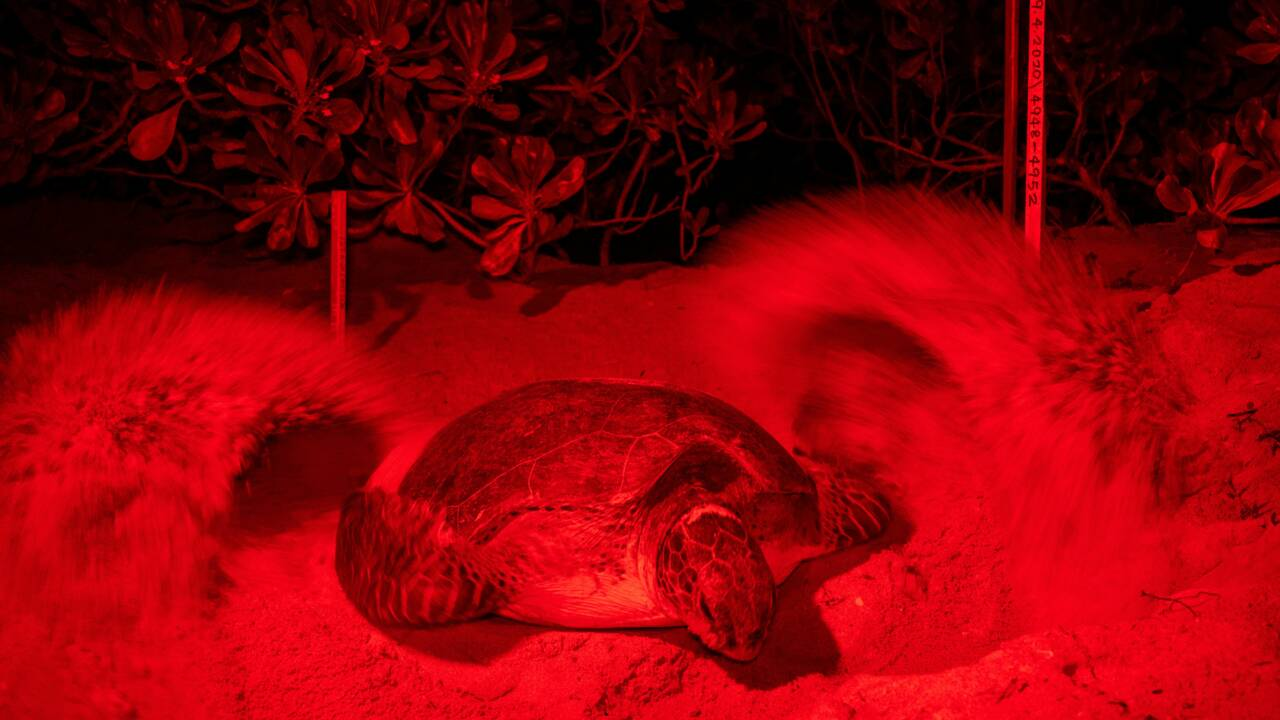 Un pilleur de nids devenu protecteur des tortues en Malaisie