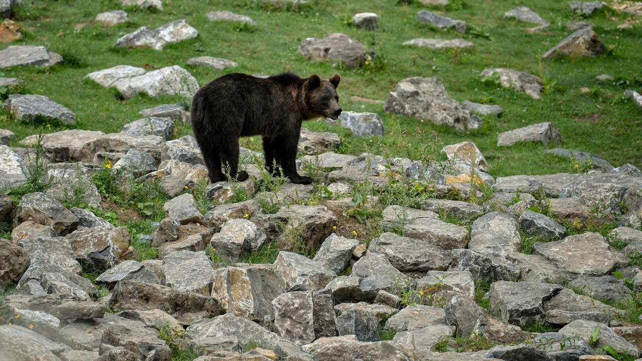 """Pas d'ours """"à problème"""" observés jusque là en Ariège, rassure l'OFB"""