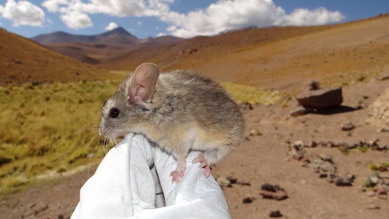 Chili : un petit mammifère observé à 6 739 m d'altitude, un record