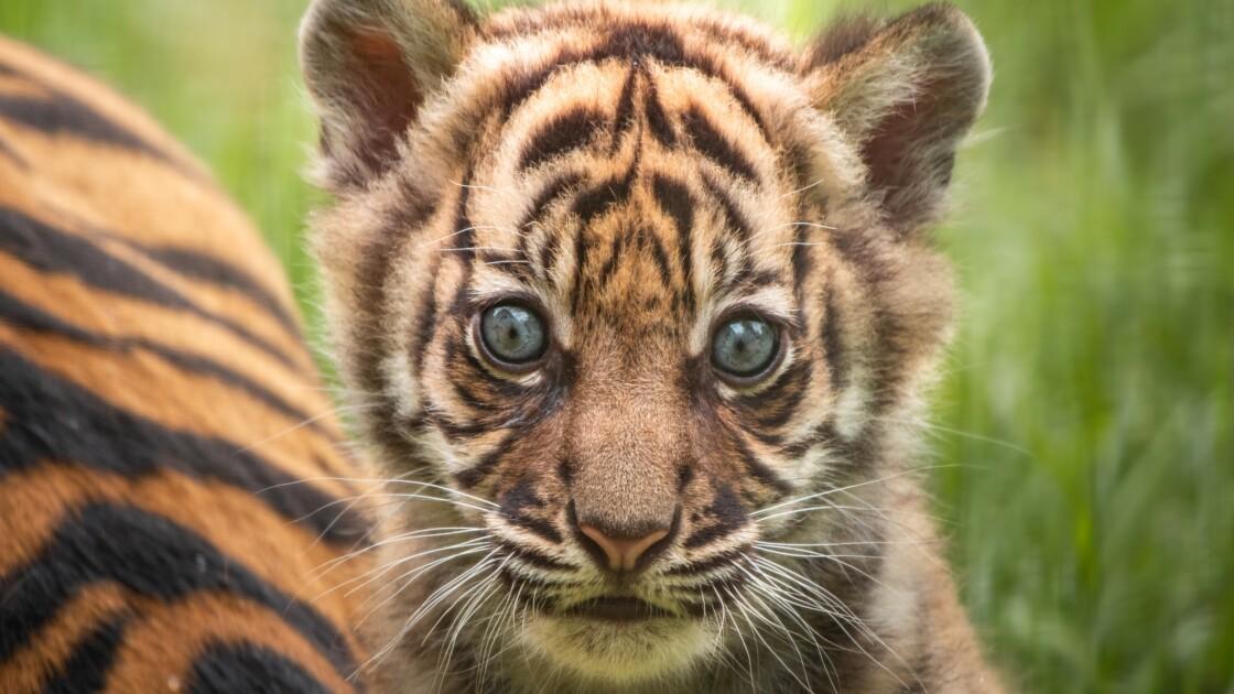Naissance d'un tigre de Sumatra rarissime, dans un zoo de Pologne