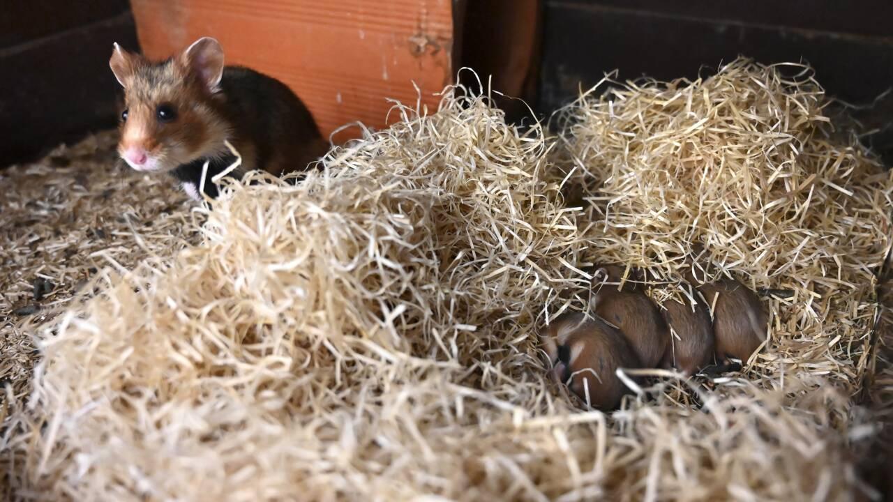 Dans le Haut-Rhin, une pouponnière pour sauver le grand hamster d'Alsace