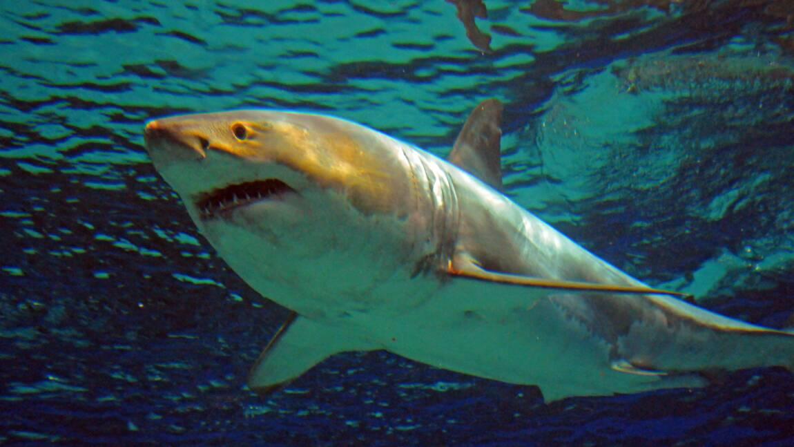 Une femme meurt après une attaque de grand requin blanc dans le Maine